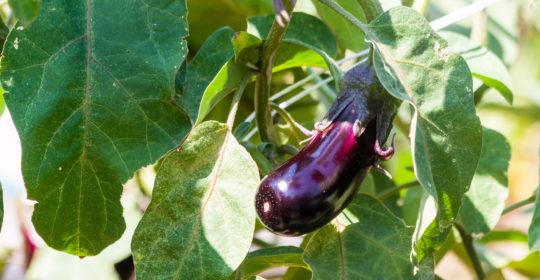 Eggplant –  'tis the season